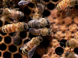 Honey Bee extractor and honey bee removal and relocation